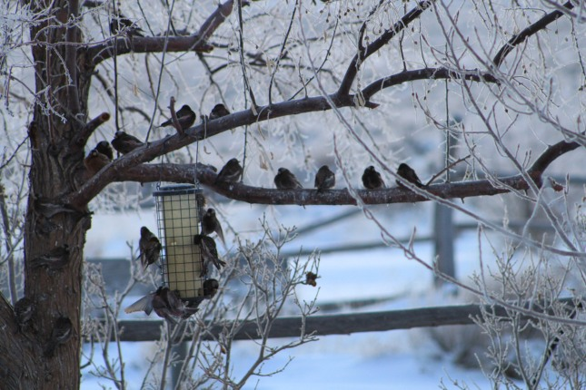 Cold winters, the beauty of mother nature!  Finches feeding.